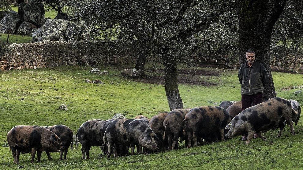 Cerdo ibérico de Jabugo
